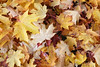 Redmond, Marymoor - fallen maple leaves on the ground in abstract patterns