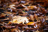 Seattle, Carkeek - Close up of a fallen yellow leaf on the forest floor