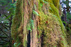Hoh, Rainforest - Close up of moss covered tree trunk
