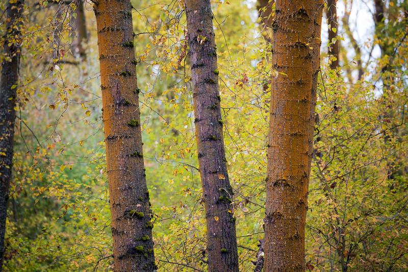 Kittitas, Cle Elum - Three tree trunks set amongst fall foliage