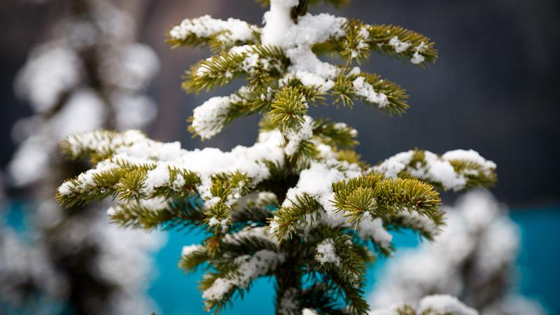 Banff, Peyto - First snow on small evergreen near lake