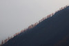 Harts Pass, Windy Pass - Line of larch trees on distant smoky ridgeline
