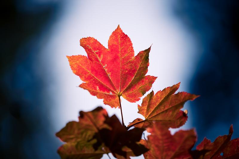 Leavenworth, Tumwater - Single backlit maple leaf