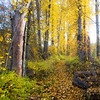 Easton, Pond - Fallen leaves on a path by an old snag through fall colors