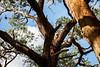 Victoria, Great Ocean Road - Wild koala hidden in tree