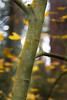 Woodinville, Paradise Valley - Close up of trunk of juvenile aspen with fall colors behind