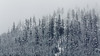 Snoqualmie Pass, Gold Creek Pond - Telephoto view of old growth forest on a hill in a snowstorm