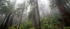 North Cascades, Thornton Lakes - Foggy forest with two snags and trees reaching into the clouds, panoramic