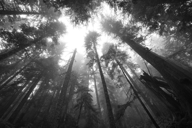 North Cascades, Thornton Lakes - Looking up in foggy forest with broken tree