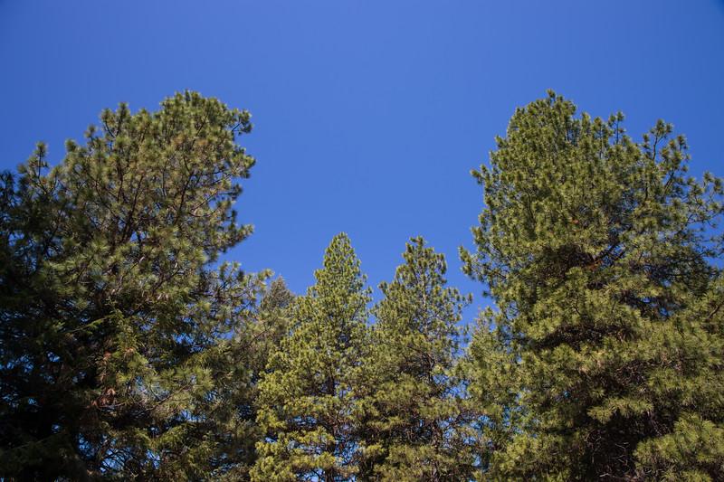 Kittitas, Teanaway - Tops of tall Ponderosa Pine trees