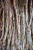 Vancouver Island, Butchart Gardens - Close up of tree bark at Butchart Gardens