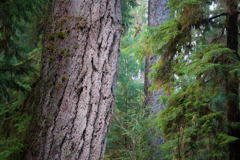 Hoh, Rainforest - Close up of Douglas Fir old growth