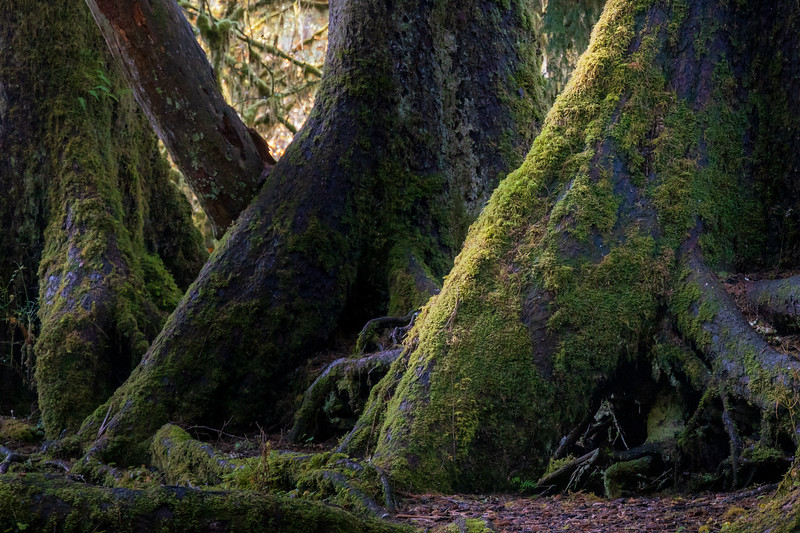 Hoh, Rainforest - Old growth trees in a line at the site of a former nurse log