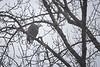 Whatcom, Mosquito Lake Bridge - Eagle in tree from below