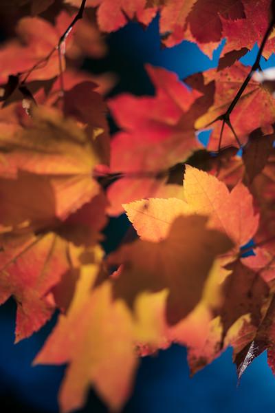Leavenworth, Tumwater - Cluster of backlit maple leaves