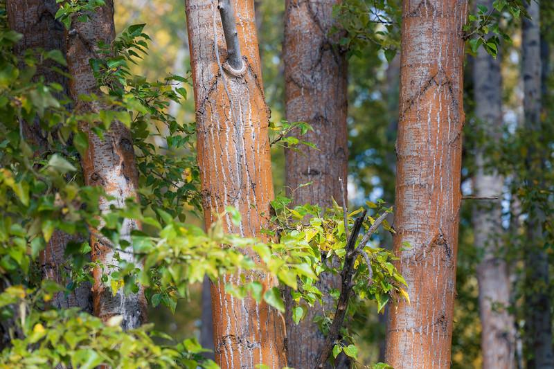 Kittitas, Cle Elum - Orange tree trunks
