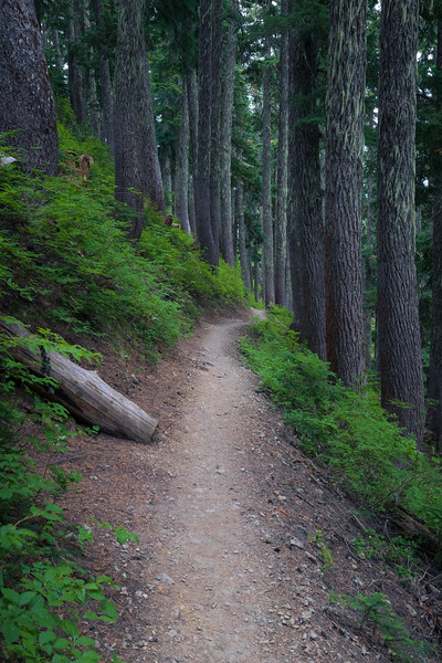 Snoqualmie Pass, PCT North - PCT through tall trees on a steep slope