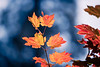 Leavenworth, Tumwater - Bright red backlit maple leaf