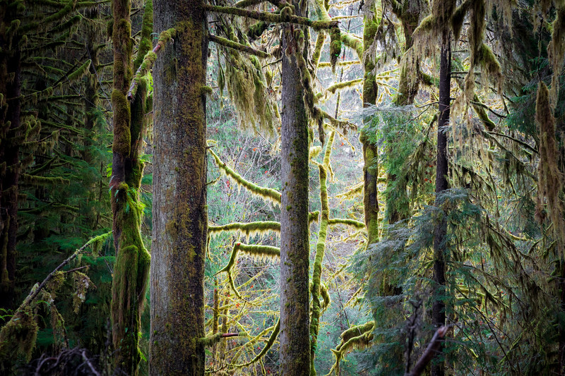 Hoh, Rainforest - Backlight illuminating moss on trees through a clearing
