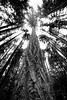 Lynnwood, Meadowdale Beach - Looking up at large old growth tree, black and white