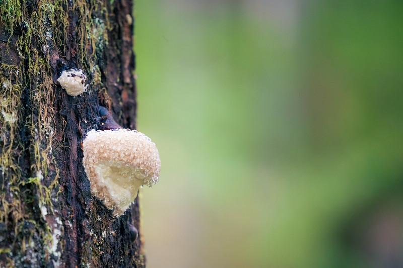 North Cascades, Thunder Creek - White shelf mushroom on the side of a tree