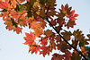 Leavenworth, Tumwater - Tree of maple leaves at an angle