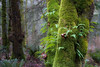 Snohomish, Lord Hill - Ferns and moss covering the trunks of a collection of trees
