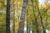 Kittitas, Cle Elum - Intersecting cottonwood trees with early fall color