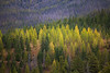 Kittitas, Blewett Pass - Early turning larch on a ridge