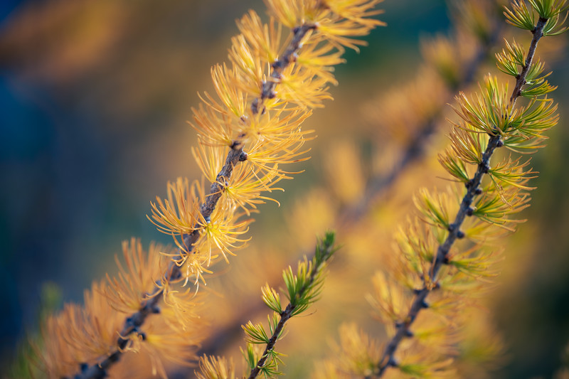 Stuart, Ingalls - Close up of larch needles in various color stages