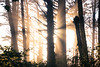 Kalaloch, Beach 1 - Sun setting directly behind tree with crepsecular rays