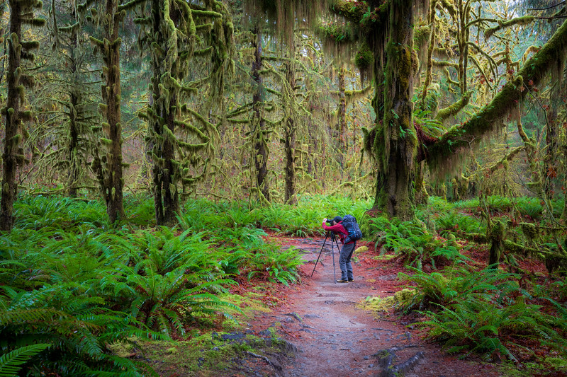 Hoh, Rainforest - Photographer with tripod on trail undernath a large moss covered tree