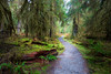 Hoh, Rainforest - Trail winding through a moss covered clearing past a snag