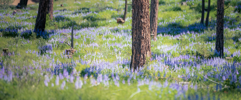 Kittitas, Watts Canyon - Forest floor covered in purple lupine