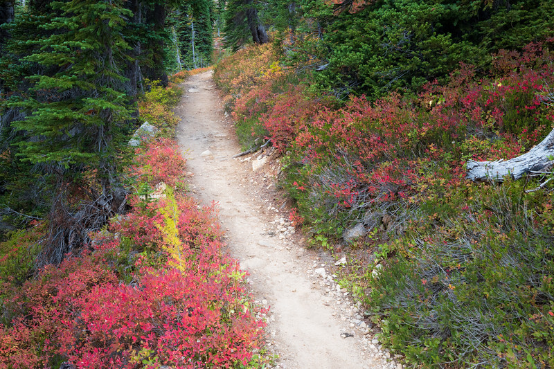 Rainy Pass, Cutthroat Pass - Trail passing through bright red huckleberry bushes as it enters forest