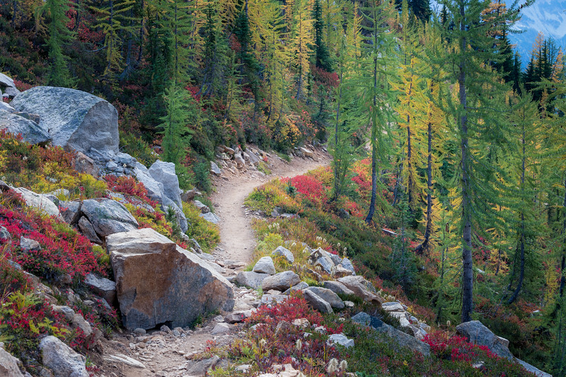 Rainy Pass, Cutthroat Pass - Colorful huckleberry bushes alongside trail passing through boulders entering larch grove