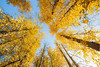 Easton, Pond - Looking up in stand of yellow trees