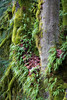 Snohomish, Lord Hill - Collection of ferns and moss growing on two large tree trunks