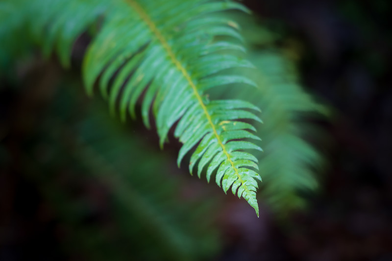 Snohomish, Lord Hill - Close up of tip of a fern, color