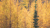 Stuart, Ingalls - Stand of larch with a single evergreen