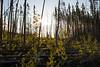 Pasayten, Horseshoe Basin - Sunrise over large area of lodgepole pine blowdown