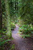 Snohomish, Lord Hill - Path leading through the forest framed by a large tree and the crown of a hemlock