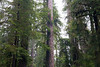 Quinault, Rainforest - Large tree with space around it surrounded by forest