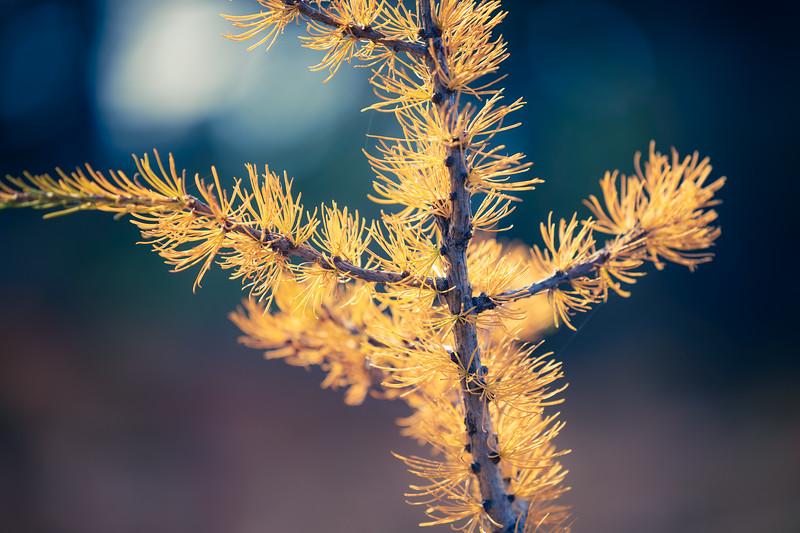 Harts Pass, Windy Pass - Tiny yellow larch tree close up