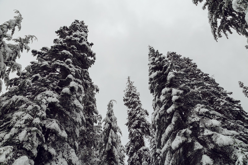 Snoqualmie Pass, PCT South - View up of evergreens in snow