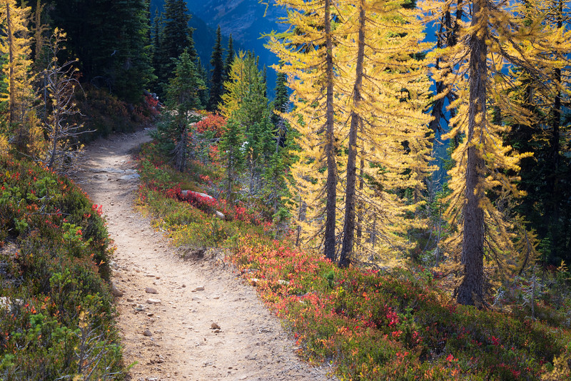 Rainy Pass, Cutthroat Pass - Trailside view with backlit larch trees and red berry bushes