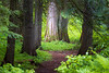 Western, Ross Creek Cedars - Big cedar illuminated by sun with trail