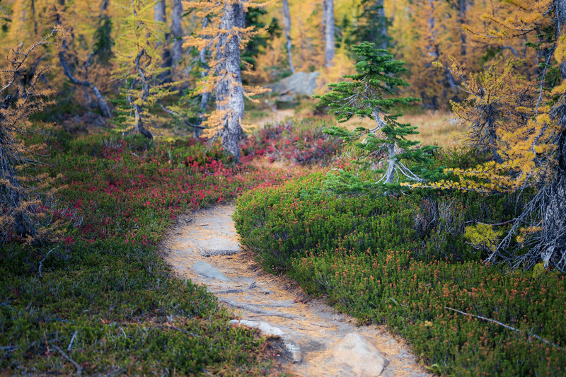 Stuart, Ingalls - Trail passing heather and larch trees, small tree highlighted