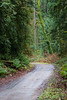 Snohomish, Lord Hill - Road through forest leading to a large leaning oak trunk