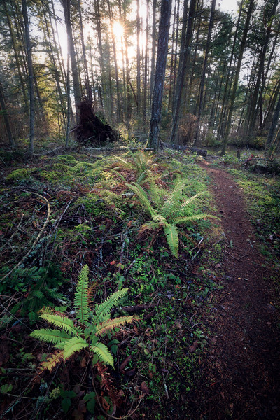 Skagit, Kukutali Preserve - Path through forest near sunset with two ferns